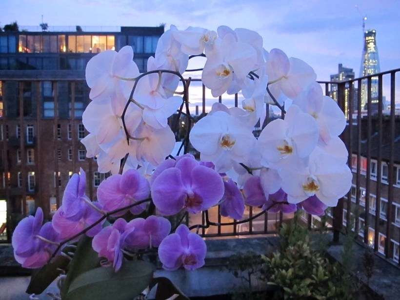 Blooming Orchid pink white flowers plants.JPG
